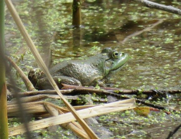 bullfrog16-04-21_1535
