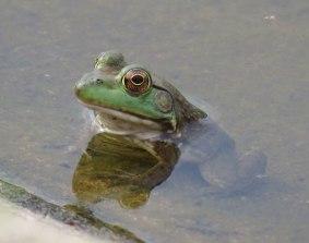 bullfrog16-08-17_8585