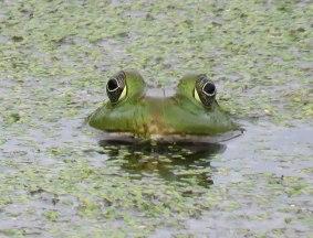 bullfrog16-09-22_0167