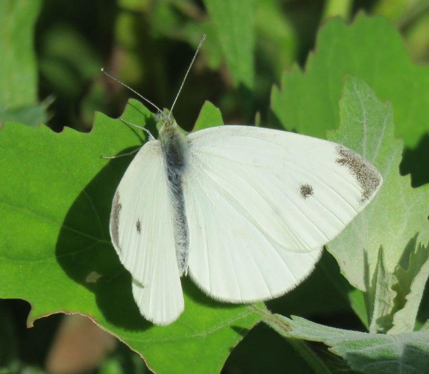 cabbagewhite16-07-09_5982