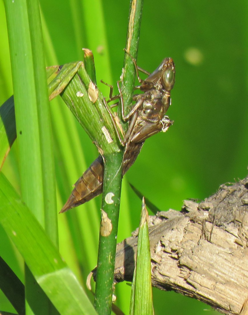 dragonflynymphskin16-07-09_5951