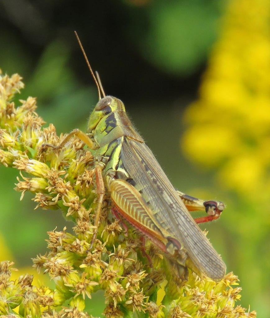 grasshopper16-09-22_0225
