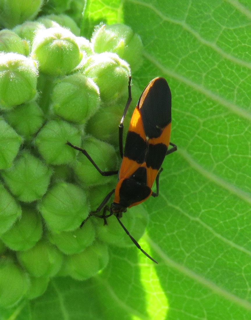 milkweedbug16-06-18_5058