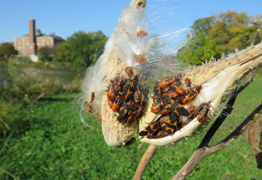 milkweedbugs16-10-23_2320