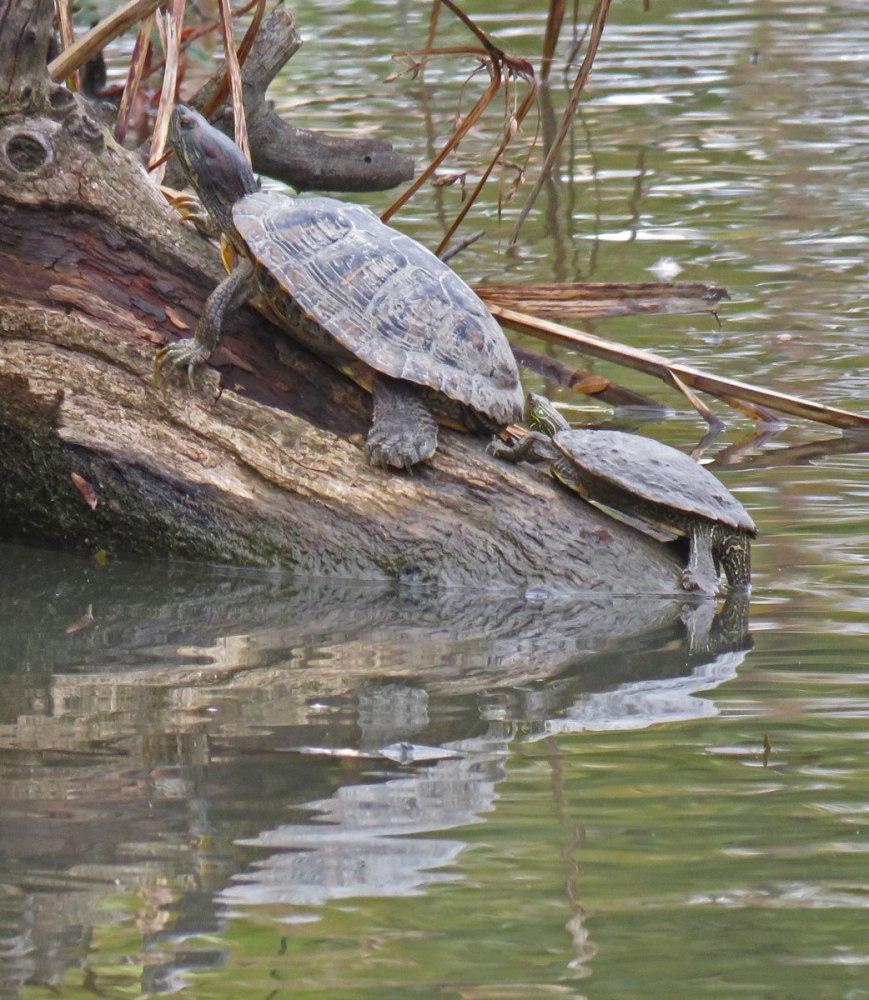 turtles16-10-29_3111