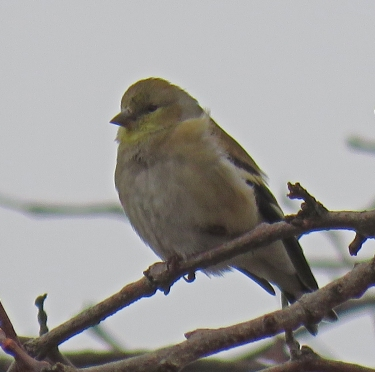 amgoldfinch17-01-18_7668