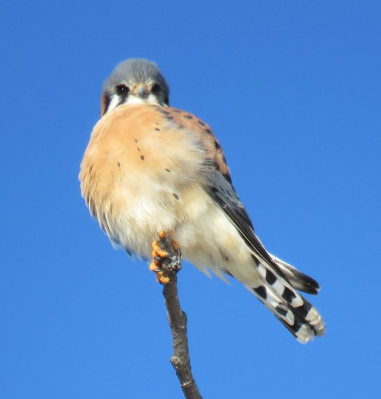 Male American Kestrel hunting at the edge of the sanctuary meadow. (December, 2016)