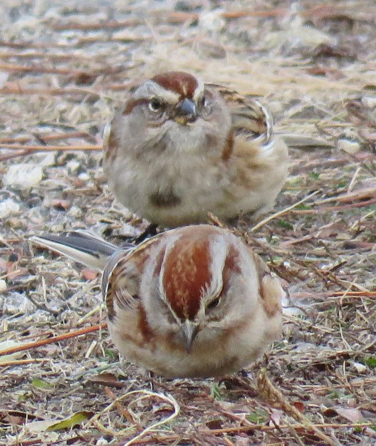 American Tree Sparrows are usually flocking somewhere in Douglas Park -- in the sanctuary, on the soccer field, or on the lawn in front of the Cultural Center. (December, 2016)