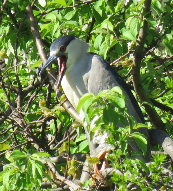 Black-crowned Night-Herons catch fish at the edges of the lagoon. (May, 2016)