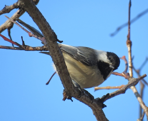 Black-capped Chickadee (February, 2017)
