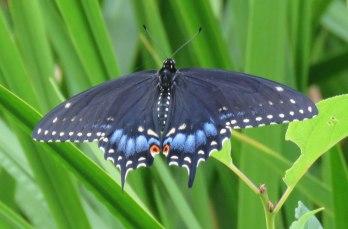 blaswallowtailf16-07-23_7181