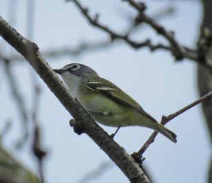 Blue-headed Vireo (April, 2016)