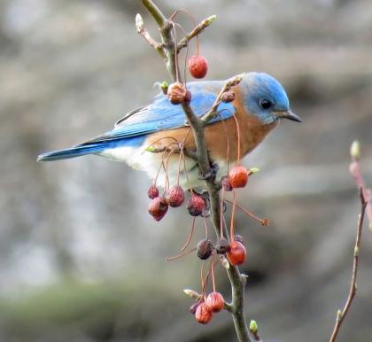 bluebird0217-02-23_9281