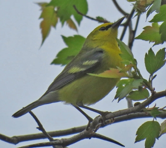 Blue-winged Warbler (April, 2016)