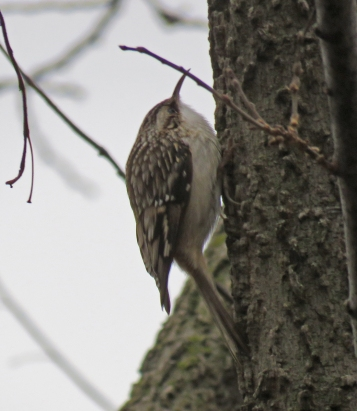 Brown Creeper north of the Cultural Center Parking lot. (January, 2017)