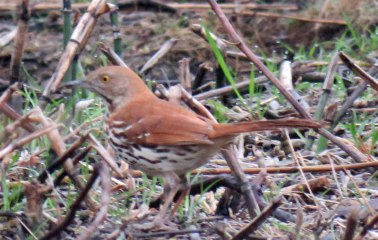 Brown Thrasher (April, 2016)