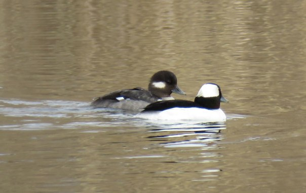 Bufflehead are diving ducks. They dive deep in search of small catfish and crayfish. The boldly patterned male is in front, and the female in back (March, 2016)