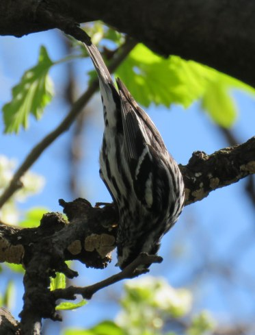 Black-and-White Warbler (May, 2016)