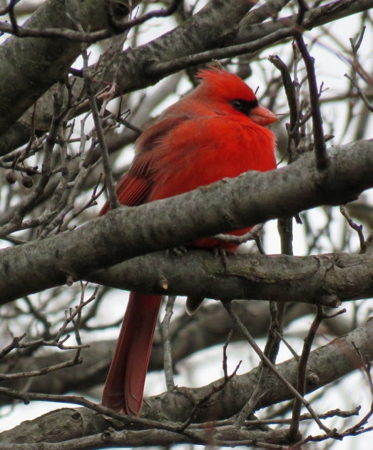 Northern Cardinal with feathers puffed up to keep it warm. (January, 2017)