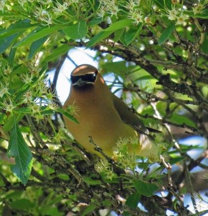 Cedar Waxwing (May, 2016)