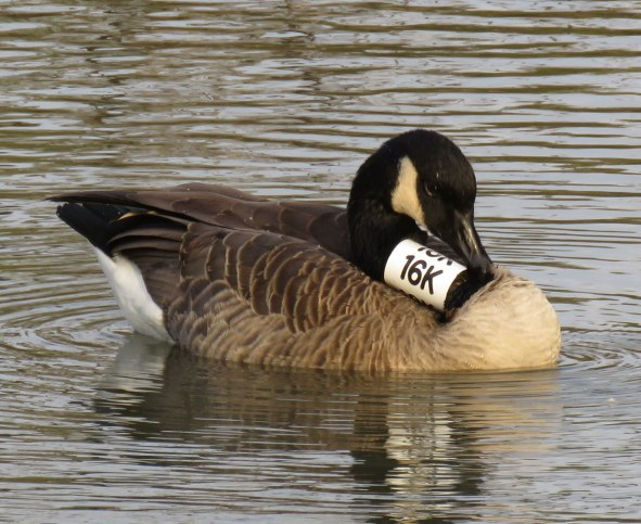 Canada Geese with white neck collars are part of a Chicago-area study of wintering geese. (October, 2016)