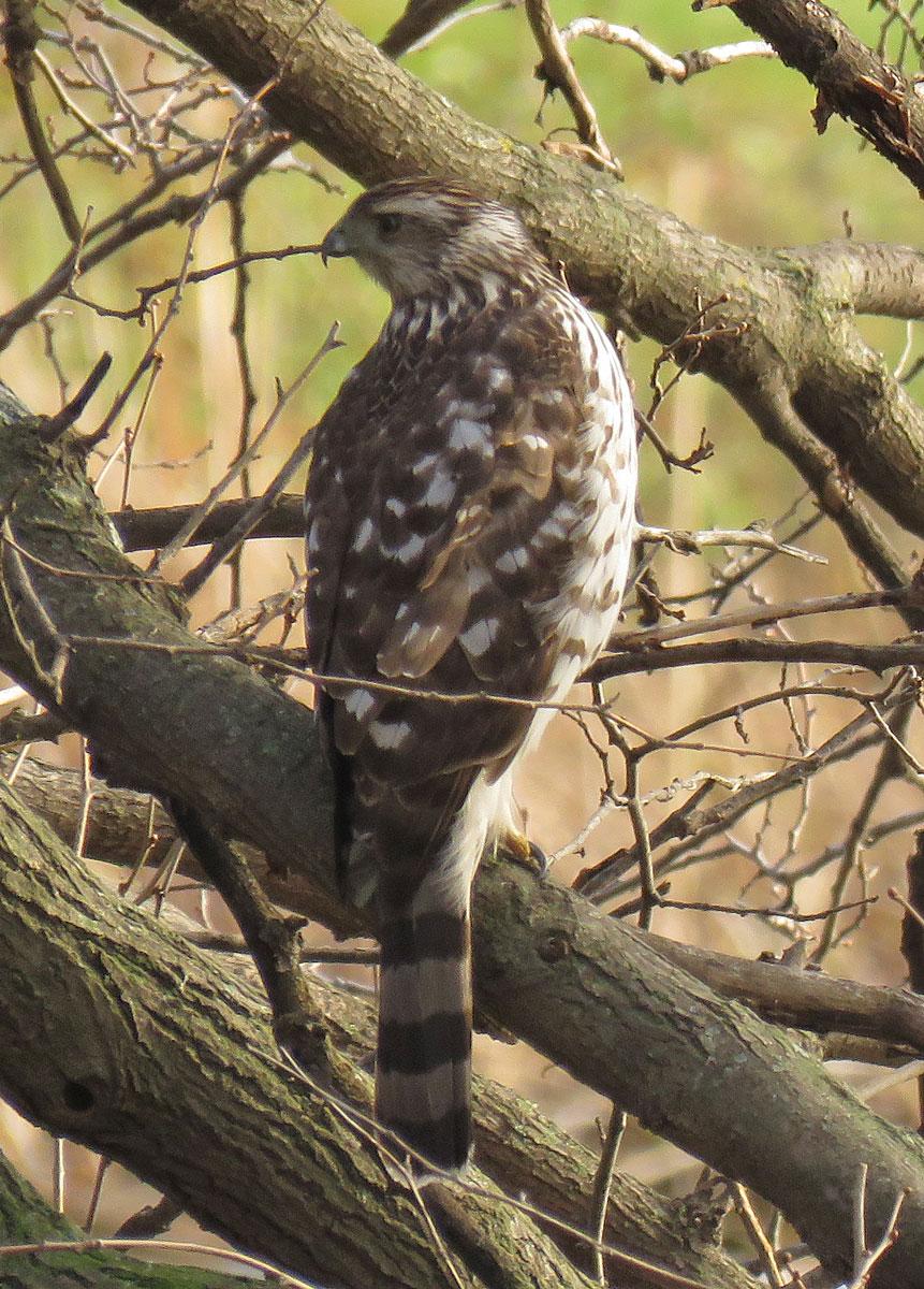 Young Cooper's Hawk (November, 2016)