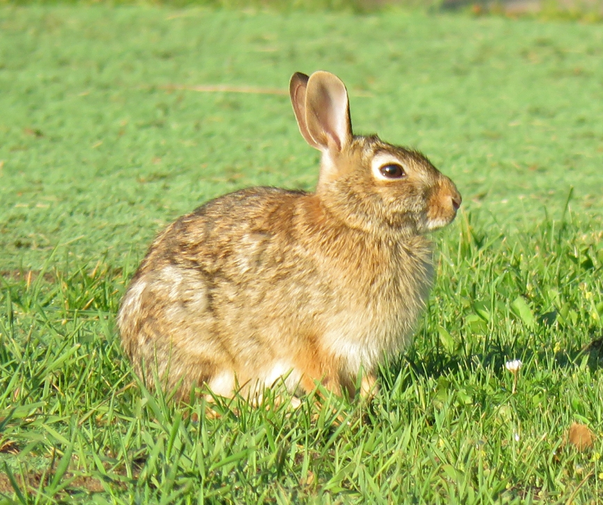 cottontail16-06-05_4077