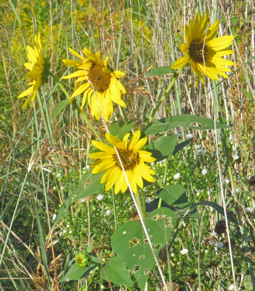 csunflower16-09-13_0206
