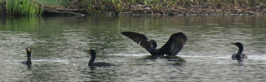 Double-crested Cormorant (April, 2016)