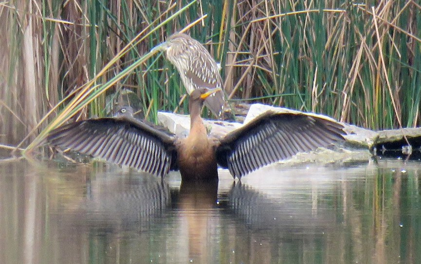 The streaky bird in the back is a young Black-crowned-Night-Heron. It was photobombed by at Double-crested Cormorant drying its wings. A female Wood Duck is peeking out above the cormorant's right wing. (September, 2016)