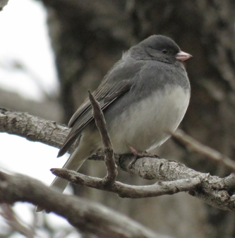 Dark-eyed Junco near the Cultural Center parking lot. (January, 2017)