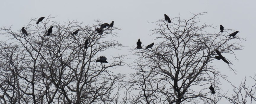 Flock of American Crows (March, 2016)
