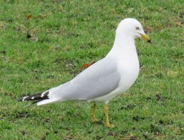 Ring-billed Gulls catch worms on the soggy soccer field, fish in the lagoons, and clean up any food that humans leave behind. (March, 2016)
