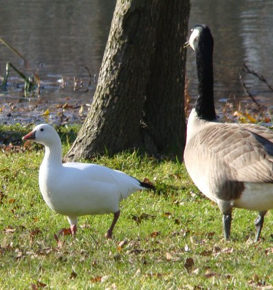 Small, white Ross's Geese are uncommon in Chicago. When this one visited Douglas Park during November, 2013, many bird watchers came to see it. (November, 2013).