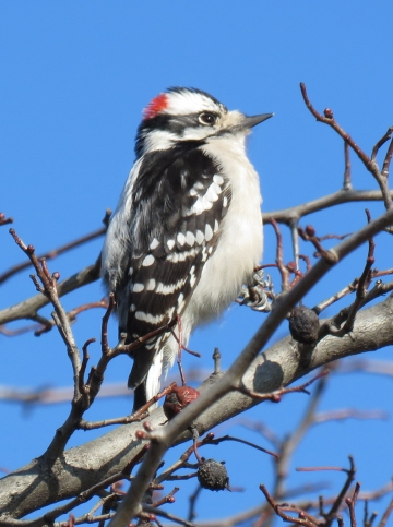 Downy Woodpecker near the Cultural Center parking lot. (February, 2017)