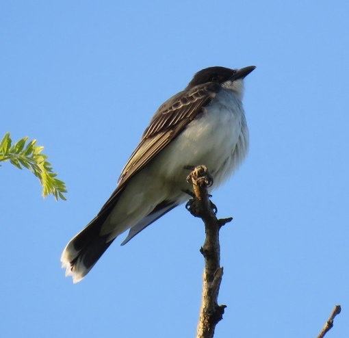 Eastern Kingbirds catch flying insects (May, 2016)
