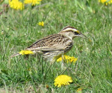 Eastern Meadowlark (April, 2016)