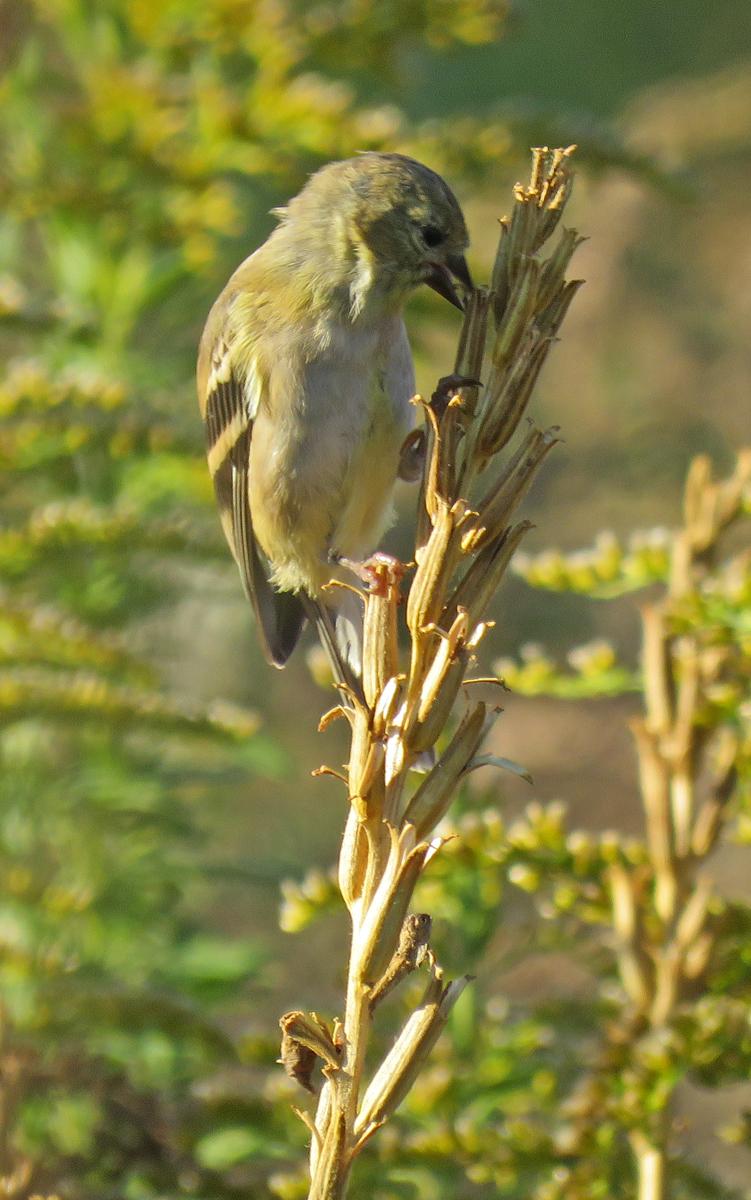 eprimgoldfinch16-10-09_1341