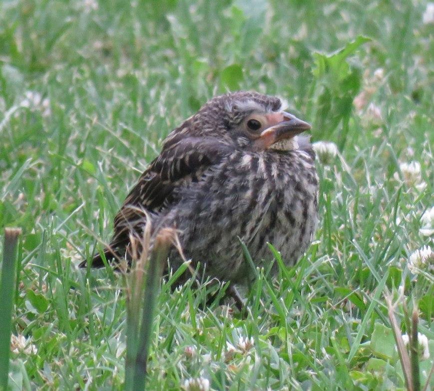 fledgrwblackbird16-06-26_52