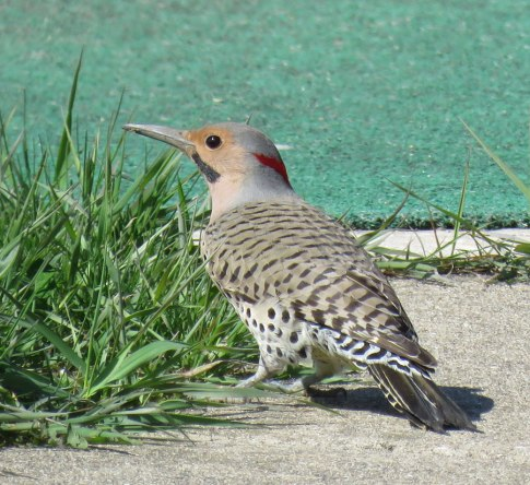 Northern Flickers lap up ants as they dig them from soil (April, 2016)