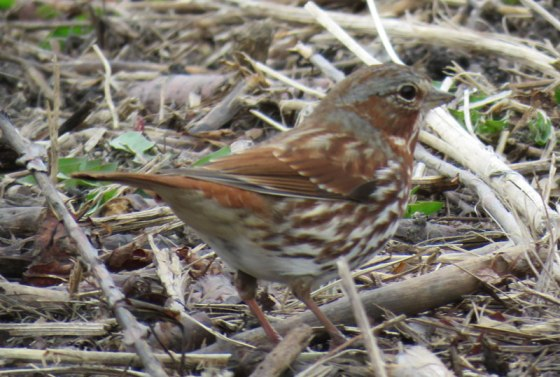 Fox Sparrow (March, 2016)