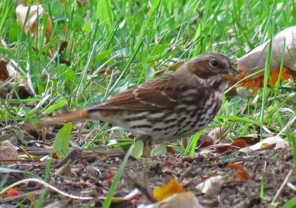 Fox Sparrow foraging near the Flower Pavilion. (October, 2016)
