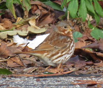 Fox Sparrow under the crab apples by the Flower Pavilion. (December, 2016)