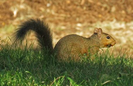foxsquirrel16-08-10_8193