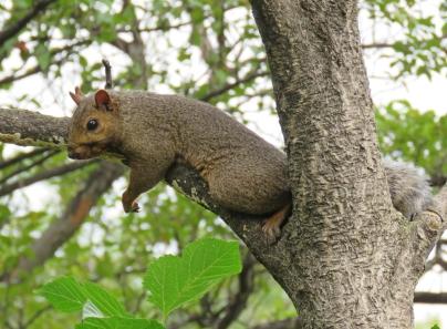 foxsquirrel2-16-09-07_9792