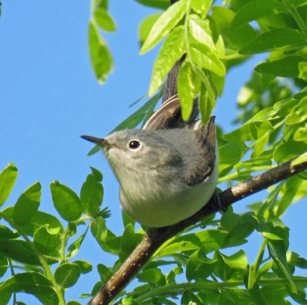 Blue-gray Gnatcatcher 9May, 2016)