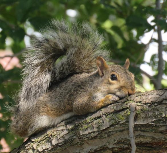graysquirrel16-09-13_0300