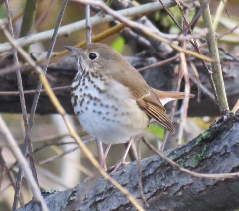 Hermit Thrushes arrive a little later and stay until late fall. ((November, 2016)