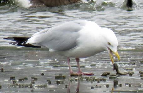 Herring Gull preparing to swallow a small catfish. (January, 2017)