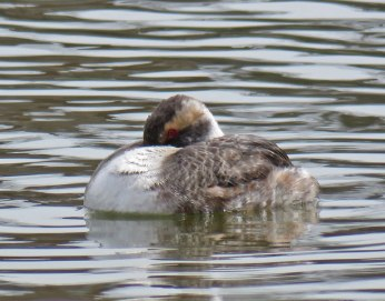 Horned Grebe (April, 2016)